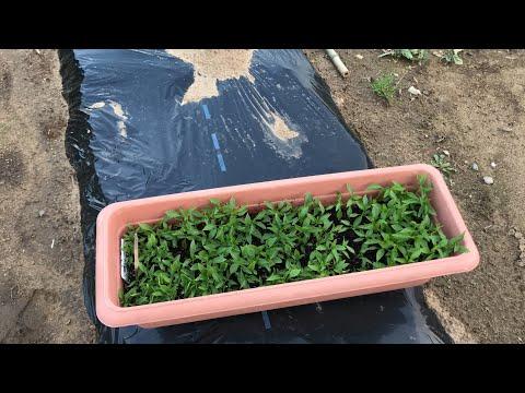 วิธีปลูกพริกขี้หนูซุปเปอร์ฮอท แบบชนิดที่ดีๆแบบบ้านๆแถมง่ายๆ ที่สวนพริกหน้าบ้าน 300420