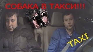 Пассажирка с собакой чуть не загрызла таксиста!!!