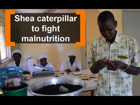 Burkina Faso: Shea caterpillar to fight malnutrition