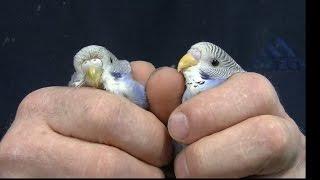 Papużka falista - żywienie i pielęgnacja