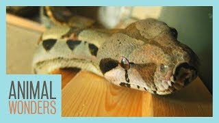 Meet And Greet: Daisy the Boa Constrictor!