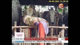 নাটোরে আধুনিক প্রযুক্তিতে চলছে গরু কেনাবেচা - Channel 24 Youtube