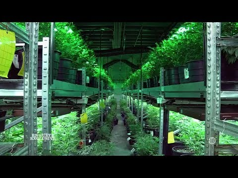 Enquete exclusive - Legalisation du cannabis: la revolution americaine - M6 - 09.11.2014