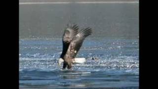 North American Bald Eagle Goes Fishing Estes Park Colorado