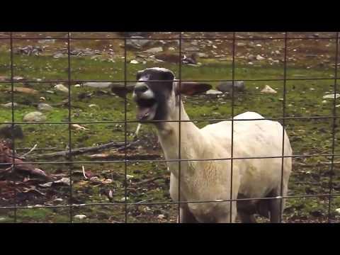 찰리푸스,조매력,염소의 삼중창 Chandelier / Charlie Puth - Chandelier .feat Charming_Jo&Goats