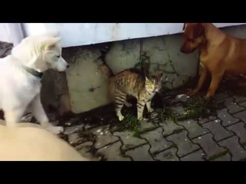 3 köpek vs 1 kedi ( 3 dog vs 1 cat )
