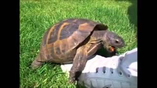 Tartaruga canta melhor que a melody