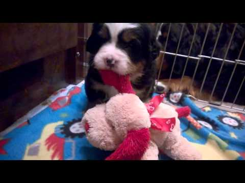 Week 3 puppy play Freja, Sogne, Kari