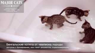 Бенгальские котята купаются в ванной