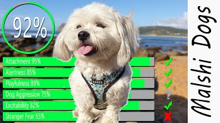 Malshi Temperament   Are Malshis good dogs? Maltese Shih Tzu mix personality| Dogs 101