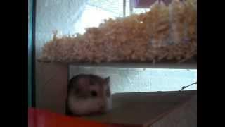 Roborowski-Zwerghamster schläft und kratzt sich