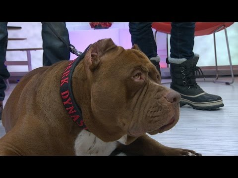 Pit Bull Called 'Hulk,' 175-Pound Dog Walks NYC | Good Morning America | ABC News