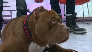 "Pit Bull Called ""Hulk,"" 175-Pound Dog Walks NYC 