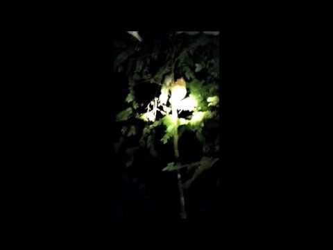 Rainforest: Live - SPOTTED: Tarsiers