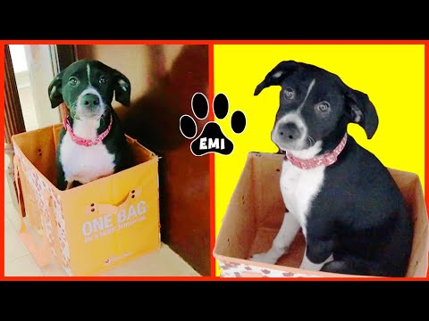 Cute Puppy Emi wants to be recycled! (English Pointer Pup) – Emis World Funny Dog Videos