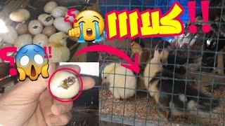 ماالذي حصل في باقي بيض البط تحت انثى الديك الرومي تنظيف بيت كتاكيت البط لتجنب الامراض للكتاكيت