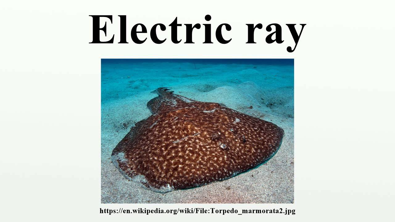 Image result for electric ray