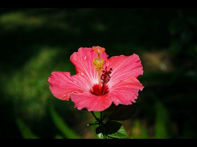 Jack'd Up Gardening #5 - Tropical Hibiscus