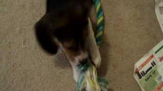 SOLD - Last Female Beagle Puppy. 8 Weeks old. Born Oct 25th