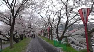 日本さくら名所100選 斐伊川堤防桜並木