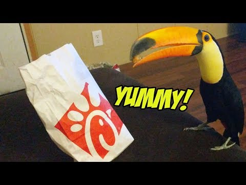 Pet Toucan LOVES Eating Chick-Fil-A!
