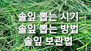 솔잎 뽑는시기&솔잎 뽑는방법&솔잎 보관법…