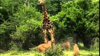 Leões atacam e matam Girafa