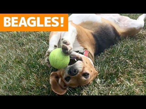 Cutest Beagle Compilation 2019   Funny Pet Videos