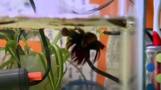 Step by step guide to breeding betta fish