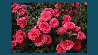 посылка с розами из Крыма