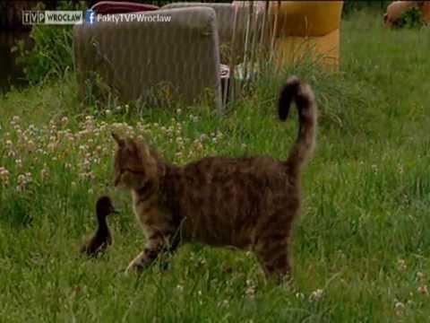 """Kotka przygarnęła... kaczorka, """"Fakty"""" 11.07.2013"""