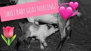 Newly born baby goat learning to nurse