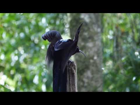 Black Sicklebill