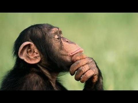 ржака обезьяна