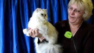 Персидская шиншилла на выставке кошек PCA - persian chinchilla
