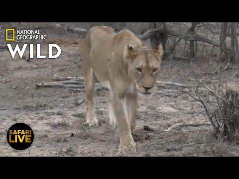 Safari Live - Day 251   Nat Geo Wild