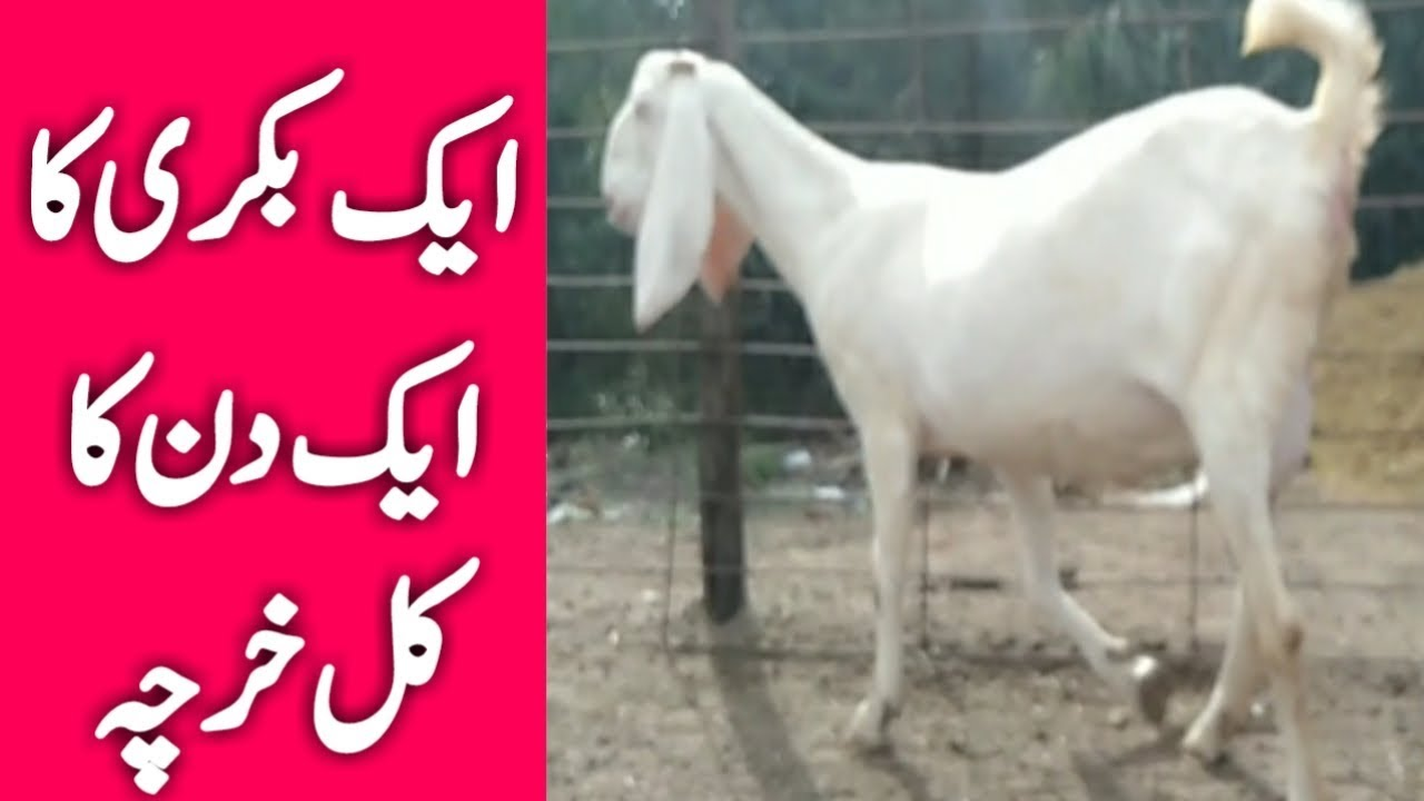 Rajanpuri Goat Farm || How To Make It More Profitable || bakri farm ka  tarika || Urdu Hindi