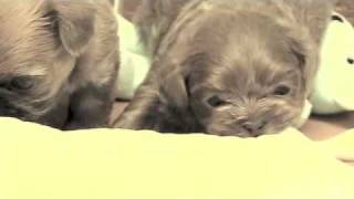 Honey X Rhythm Shih Tzu Puppies 2010