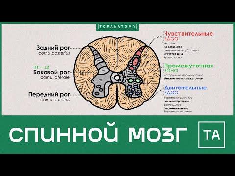 Спинной мозг видеоурок анатомия