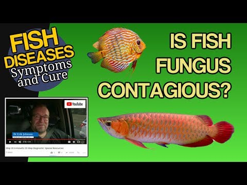Is Fish Fungus Contagious? From Fish To Fish? From Fish To People?