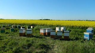 Cules de rapita - ep.1 - Lucrari esentiale in cuibul familiei de albine (aprilie.2016)