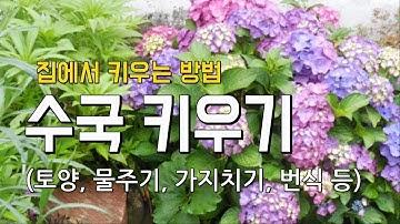 수국키우기 여름에 예쁜 꽃  (키우는 환경, 전정, 물주기, 삽목, 비료, 병충해...)