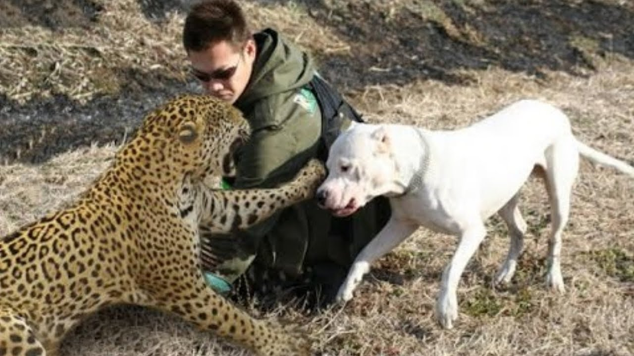 Best Trained & Disciplined Dogo Argentino's