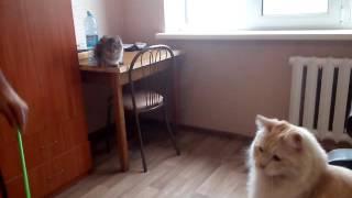 видео Курильский бобтейл 7 месяцев