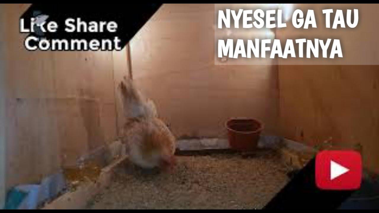 Tips Memindahkan anak ayam yang baru menetas kedalam ...