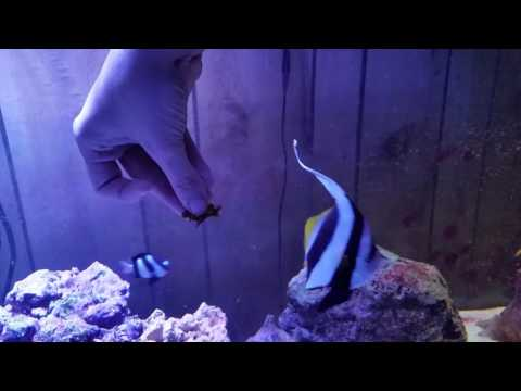Schooling Bannerfish eats from fingers