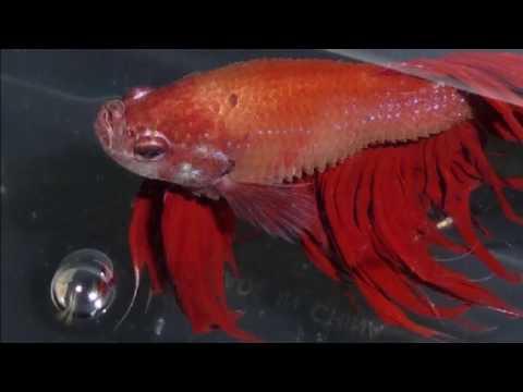 Cara Mengganti Air Aquarium Yang Benar Agar Sirip Dan Ekor Ikan Cupang Tidak Rusak Ikan Hias Air Tawar Laut Dan Aquarium