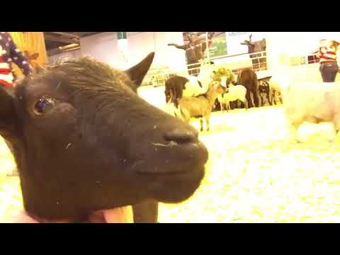 A look at Houston Rodeo petting zoo animals