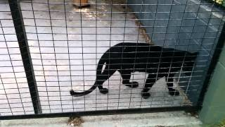Black Leopard Pacing and Purroaring
