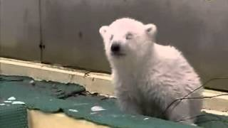 "Playful Footage of ""Flocke"", the Famed Polar Bear Cub"